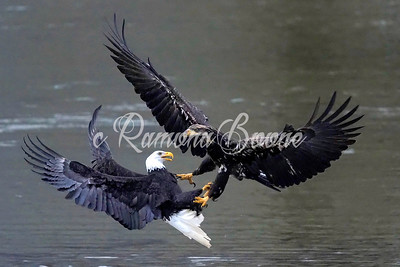 Bald Eagles, Mature and Juvenile