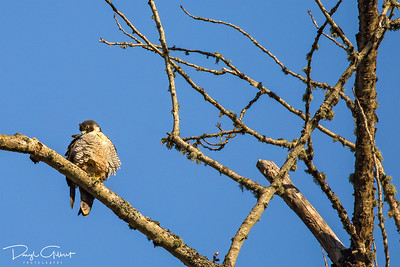Juvenile Peregrine Falcon Keeping Warm