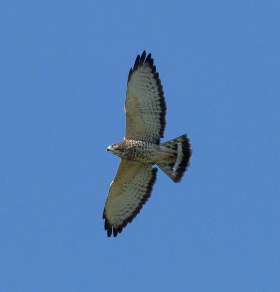 Broad-winged Hawk Buteo platypterus - Sea to Sierra Birds