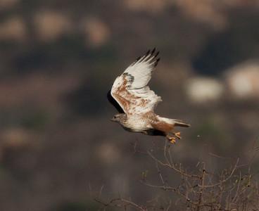 Ferruginous Hawk Ramona  2015 11 28-2.CR2