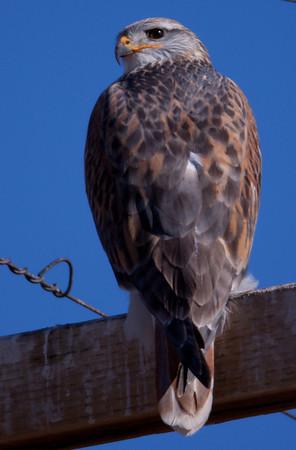 Ferruginous Hawk Bishop Ca 2010 12 17-5.CR2