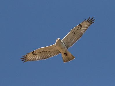 Ferruginous Hawk  Antelope Valley 2016 09 30-1.CR2-5.CR2