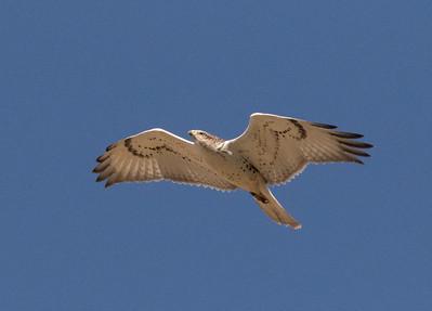 Ferruginous Hawk  Antelope Valley 2016 09 30-1.CR2-4.CR2