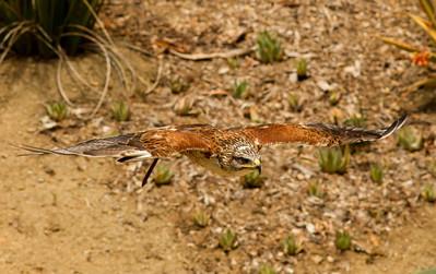 Feruginous Hawk  Safari Park  Escondido 2014 04 `8-1.CR2