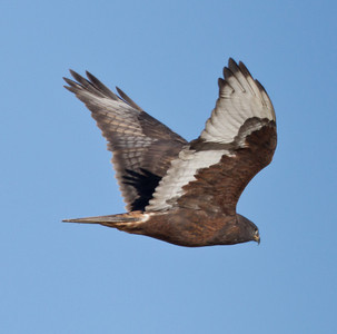 Ferruinous Hawk  about 15 miles north of Bishop 2014 01 16-2105.CR2
