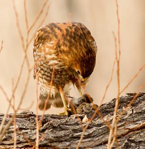 Red-shouldered Hawk   Mono Lake 2014 12 18-2.CR2