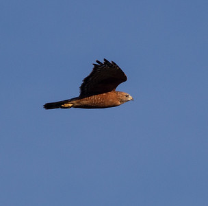 Red-shouldered Hawk Penesquitos Canyon 2014 10 04 (3 of 3).CR2
