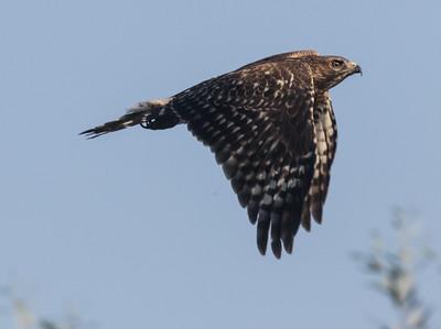 Red-shouldered Hawk Encintias 2020 10 02-7.CR2
