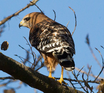 Red-shouldered Hawk  Mast Park San Diego 2011 11 30 (2 of 2).CR2