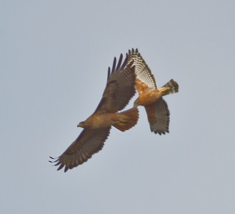 Red-tailed Hawk  Red-shouldered Hawk San Dieguito Park 2013 01 04 (1 of 3).CR2