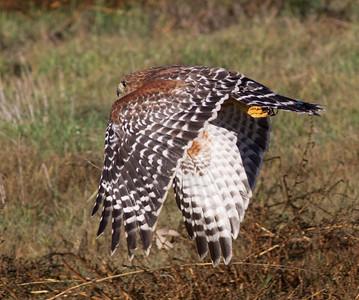 Red-shouldered Hawk   Encinitas 2013 11 24-1.CR2