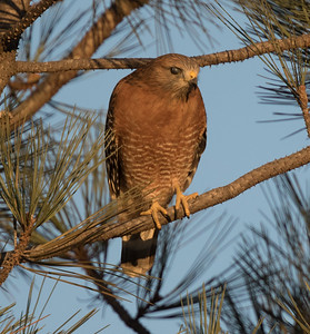 Red-shouldered Hqwk Carlsbad 2018 1110-2.CR2