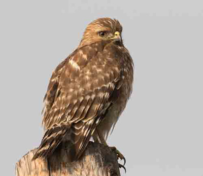 Red-shouldered Hawk Oceanside 2016 01 12-1.jpg