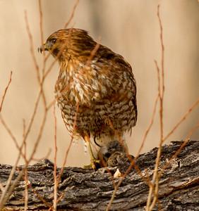 Red-shouldered Hawk   Mono Lake 2014 12 18-3.CR2