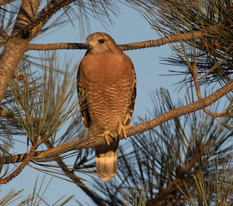 Red-shouldered Hqwk Carlsbad 2018 1110-1.CR2