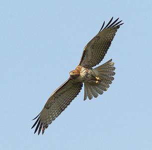 Red-tailed Hawk Rosacrutian Center Oceanside 2013 02 09 (2 of 2).CR2