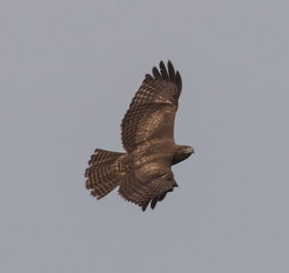 Red-tailed Hawk Camp Pendleton 2016 01 16-1.CR2