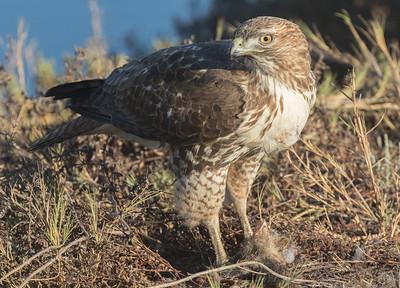 Red-tailed Hawk San Elijo Lagoon 2017 12 11-4.CR2