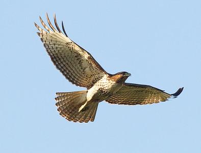 Red-tailed Hawk Rosacrutian Center Oceanside 2013 02 09 (1 of 2).CR2