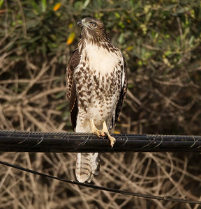 Red-tailed Hawk Imperial Beach 2015 07 11-1.CR2