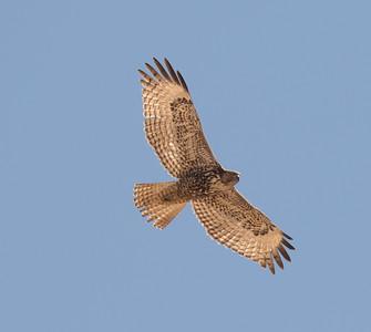 Red-tailed Hawk  Salton Sea 2016 02 20-1.CR2