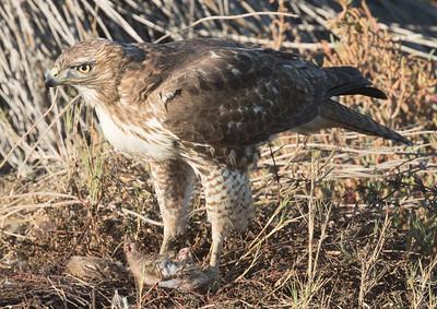Red-tailed Hawk San Elijo Lagoon 2017 12 11-3.CR2