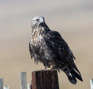 Rough-legged Hawk Bridgeport 2018 11 17-1.CR2