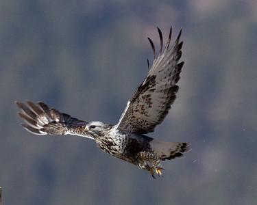Rough-legged Hawk  Mammoth Lakes area 2014 01 15-2031.CR2