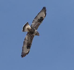 Rough-legged Hawk Mammoth Lakes  2020 01 30-9.CR2