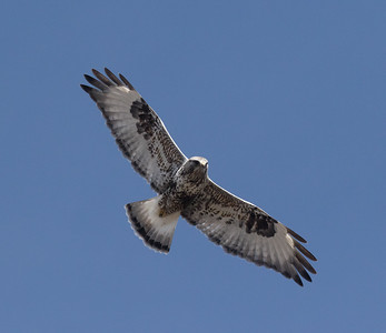 Rough-legged Hawk Mammoth Lakes  2020 01 30-8.CR2
