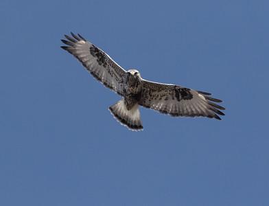 Rough-legged Hawk Mammoth Lakes  2020 01 30-6.CR2