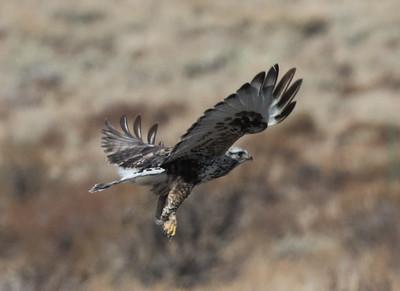 Rough-legged Hawk Mammoth Lakes  2020 01 30-5.CR2