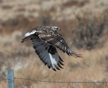 Rough-legged Hawk Mammoth Lakes  2020 01 30-3.CR2