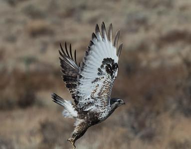 Rough-legged Hawk Mammoth Lakes  2020 01 30-2.CR2