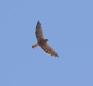 Swainson`s Hawk Antelope Valley California 2016 07 21-1.CR2-1.CR2