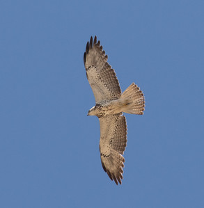 Swainson`s Hawk Pearsongville 2018 05 18-1.CR2