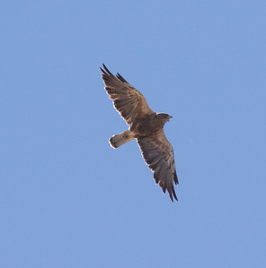 Swainson`s Hawk Antelope Valley California 2016 07 21-1.CR2-2.CR2