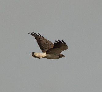 White-Tailed Hawk   Aransas County Texas 2012 3 19 (3 of 5).CR2
