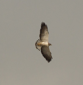 White-Tailed Hawk   Aransas County Texas 2012 3 19 (5 of 5).CR2