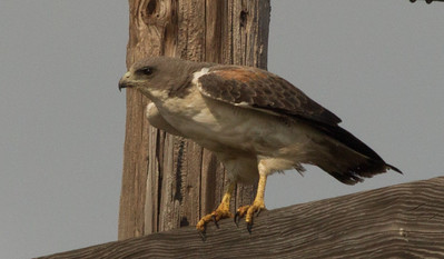 White-Tailed Hawk   Aransas County Texas 2012 3 19 (1 of 5).CR2