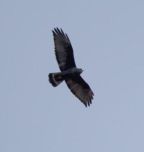 Zone-tailed Hawk San Diego Safari Park 2016 11 12-1-2.CR2