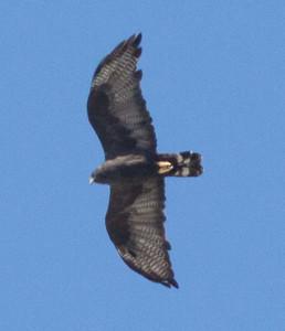 Zone-tailed Hawk  Encinitas  2014 09 27 (6 of 6).jpg