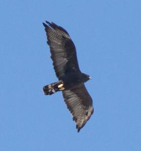 Zone-tailed Hawk  Encinitas  2014 09 27 (5 of 6).jpg