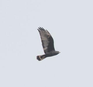 Zone-tailed Hawk  Safari Park 2016 11 12-3.CR2-5.CR2