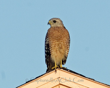 Red-Shouldered Hawk - Tampa, FL