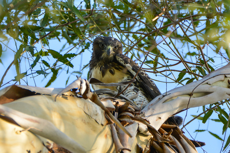 Juvenile Near the Nest