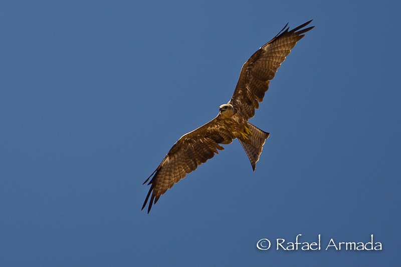 Yellow-billed Kite (Milvus migrans aegyptius). Abu Simbel (Egypt), July 2008.