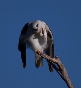 White-Tailed Kite  Oceanside 2010 03 16-4.CR2