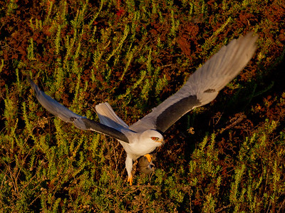 White-tailed Kite  Carlsbad 2013 01 11 (4 of 5).CR2