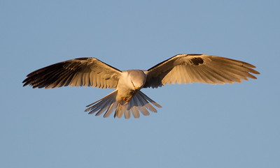 White-tailed Kite  Carlsbad 2013 01 11 (2 of 5).CR2